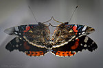 It takes two to tango! Red Admiral (Vanessa atlanta)