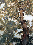 Nothofagus or Southern Beech, Chili, 40 x 45, E 490