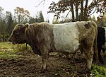 bull Silver, 100% galloway, sold