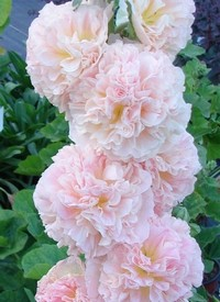 'Charters Apricot'