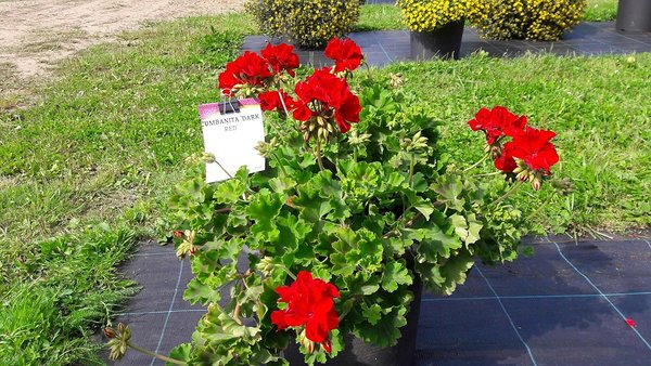 Cumbanita 'Dark Red'