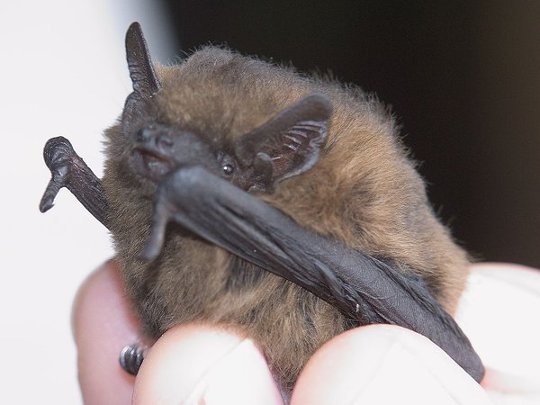 https://en.wikipedia.org/wiki/Common_pipistrelle#/media/File:Pipistrellus_female-1.jpg