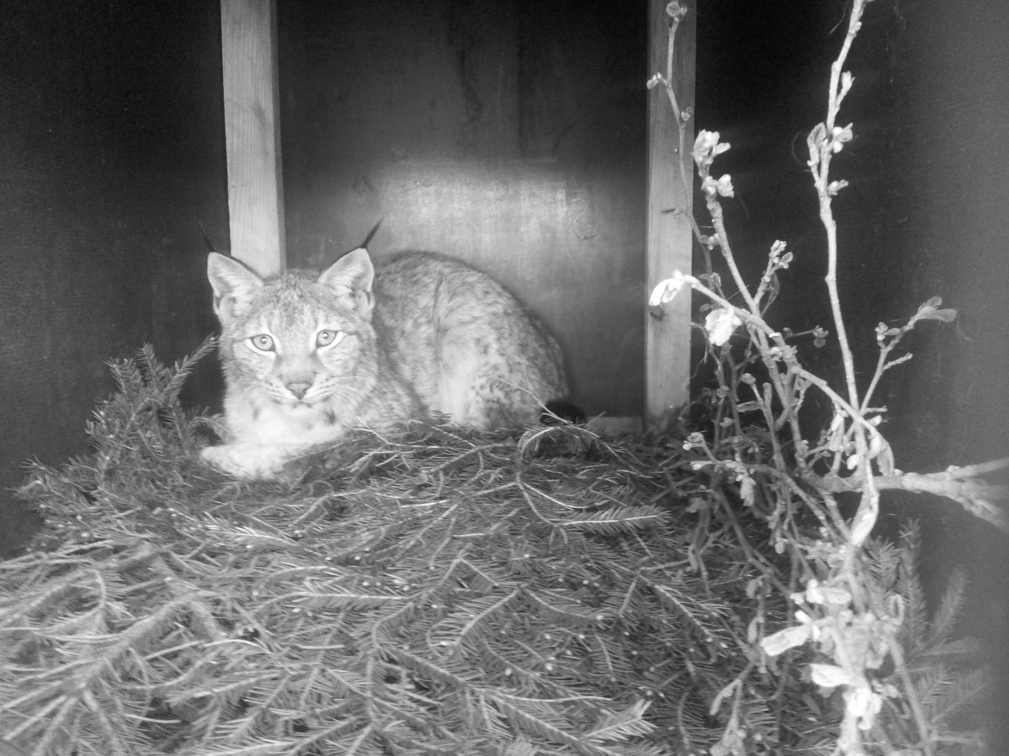 Estonian lynx in Poland has had at least one litter