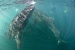 Whale Sharks in La Paz with El Duque Adventures