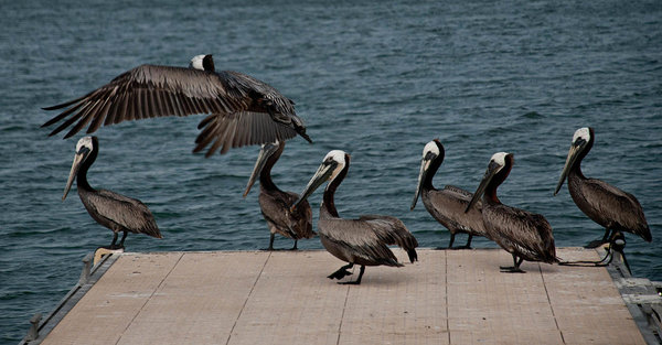 Pelicans on the dock