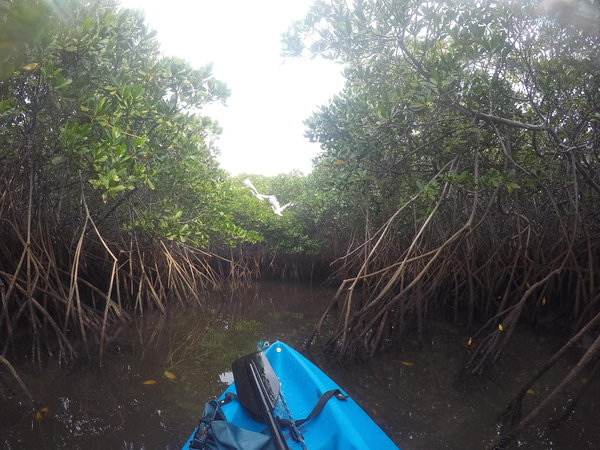 Kayaks are a great way to exlore the mangroves as they allow you silently explore the small channels and get up close to the bird life.