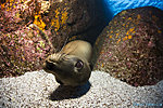 Sealions of Los Islotes with El Duque Adventures