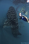 Whale Shark in La Paz with El Duque Adventures