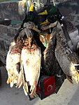 Early season mallards