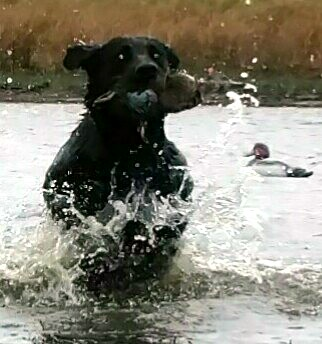 Incoming!  Blue-winged teal and black lab