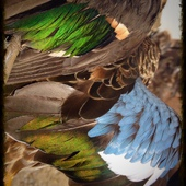 Bluewing and Greenwing Teal wings