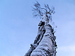 solitary tree, Finland
