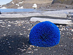 rare Norwegian blue hedgehog