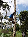 that's tey way you ought to climb a coconut tree