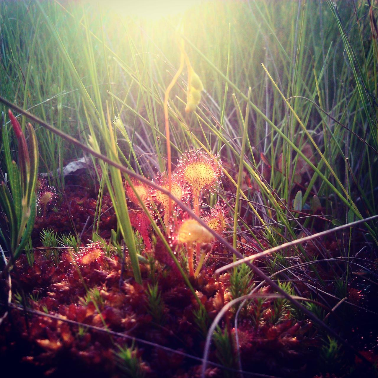 Sundews (Drosera tokaiensis) in Kuresoo bog. Photo Rait Parts