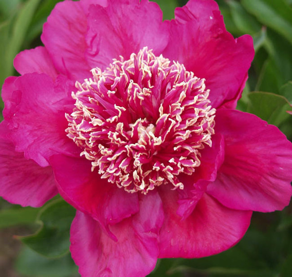 'Barrington Belle'