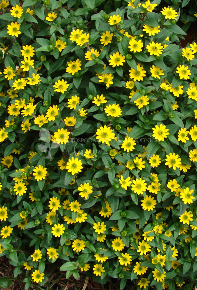 'Santiago Great Yellow'