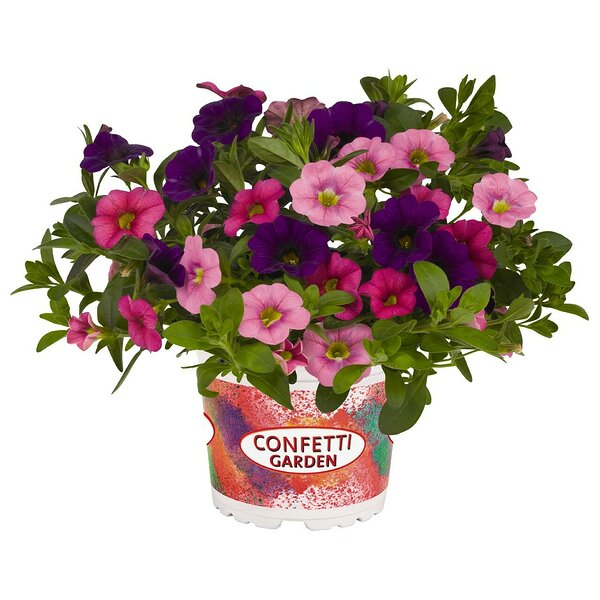 Confetti Garden 'Hawaiian Flamingo'
