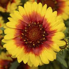 Sunrita 'Yellow Red Ring'