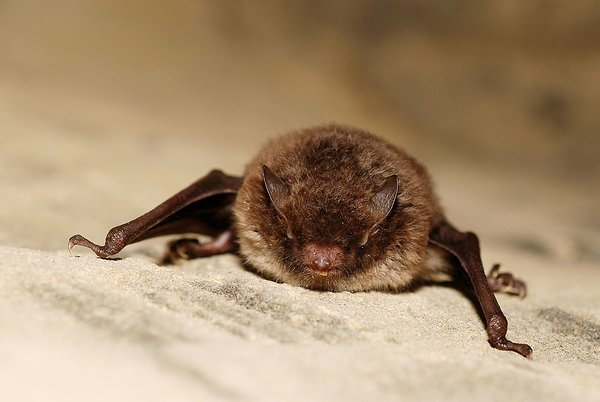 https://en.wikipedia.org/wiki/Daubenton%27s_bat#/media/File:Myotis_daubentoni01.jpg