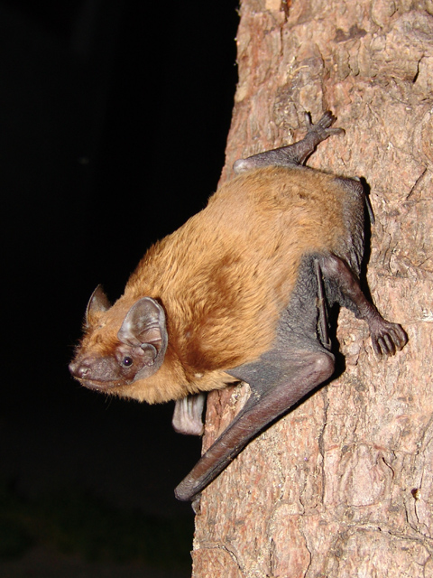 https://en.wikipedia.org/wiki/Common_noctule#/media/File:Nyctalus_noctula.jpg