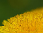 dandelion up close, Estonia