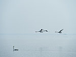 swans have returned, Hiiumaa, Estonia