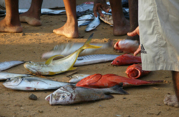 morning catch in Hikkaduwa, Sri Lanka